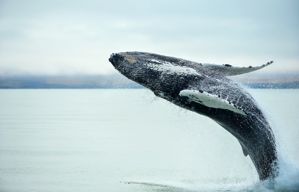 whales watching iceland